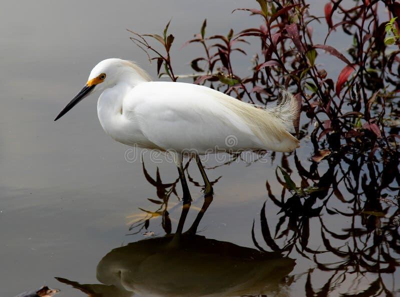 在湖的白鹭属thula 图库摄影