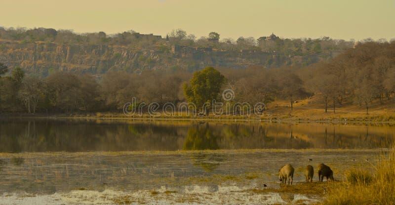 在湖的看法有在Ranthambore国家公园的warthogs的 免版税图库摄影