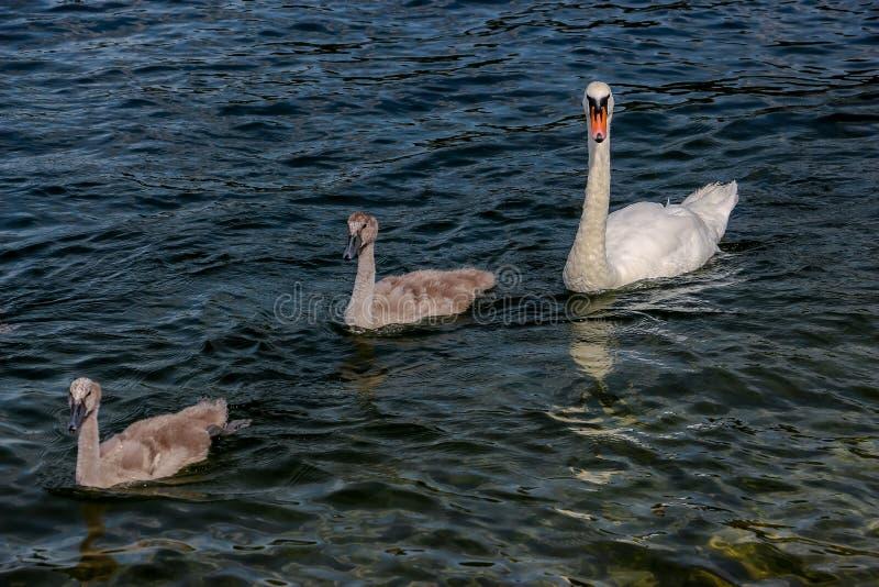 在湖的美丽的天鹅 免版税库存照片