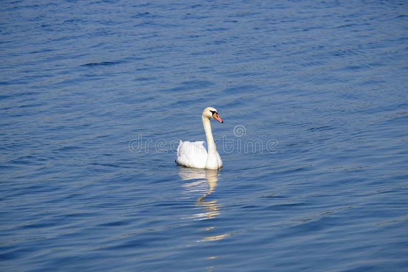 在湖的美丽的白色天鹅有大海的 免版税库存照片