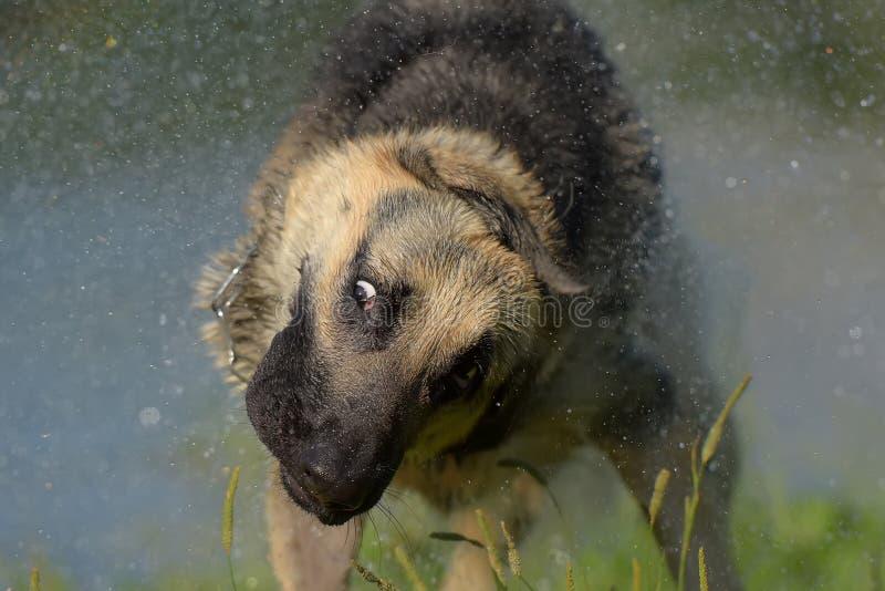 在湖的背景的护羊狗摆脱水 库存图片