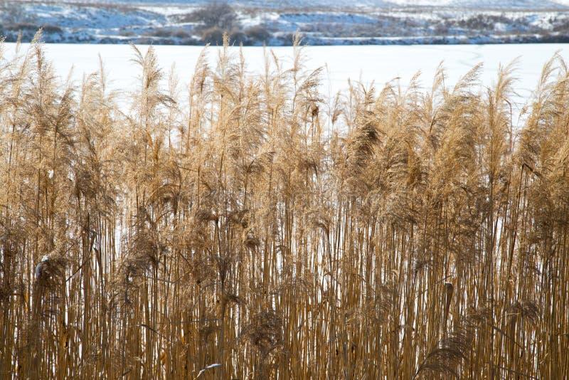 在湖的芦苇在冬天 免版税库存图片