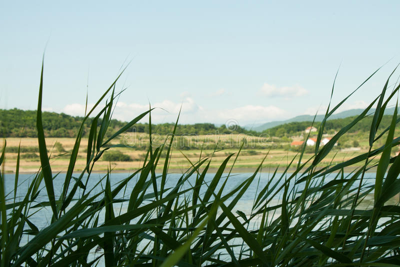 在湖的芦苇,在前景的高草 图库摄影