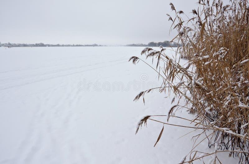 在湖的芦苇 库存图片