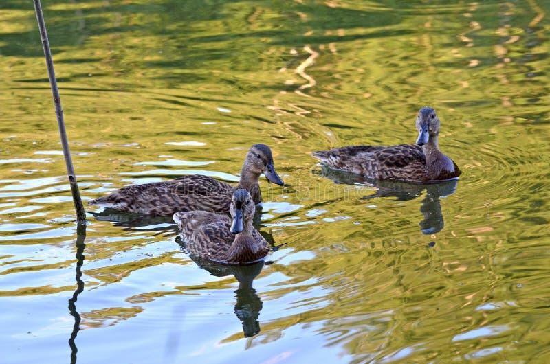 在湖的野鸭在自然生态环境 免版税图库摄影