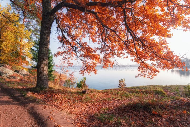 在湖的银行的偏僻的秋天树 明亮的晴朗的秋天天,Monrepos公园,列宁格勒地区 免版税库存图片