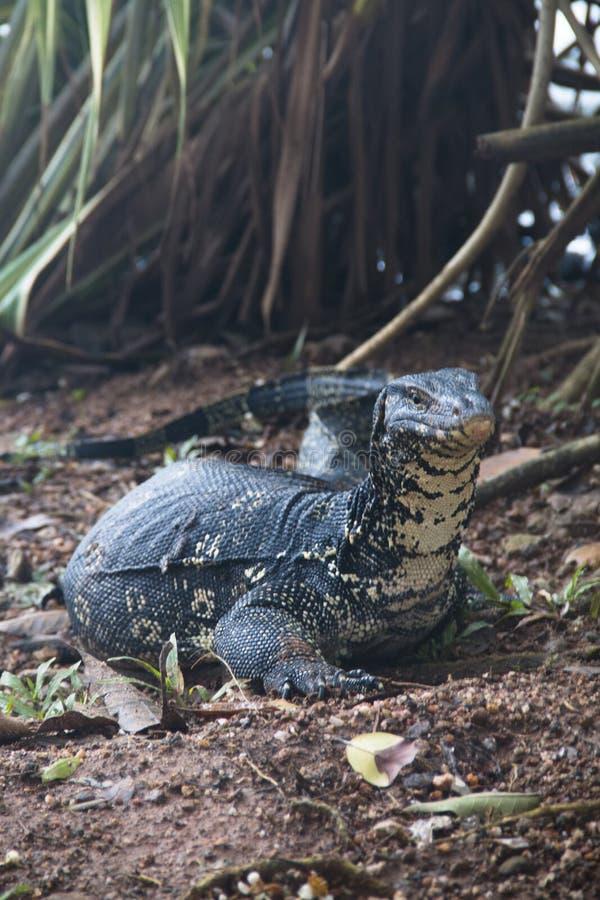 在湖的鬣鳞蜥在康提,斯里兰卡 免版税库存照片