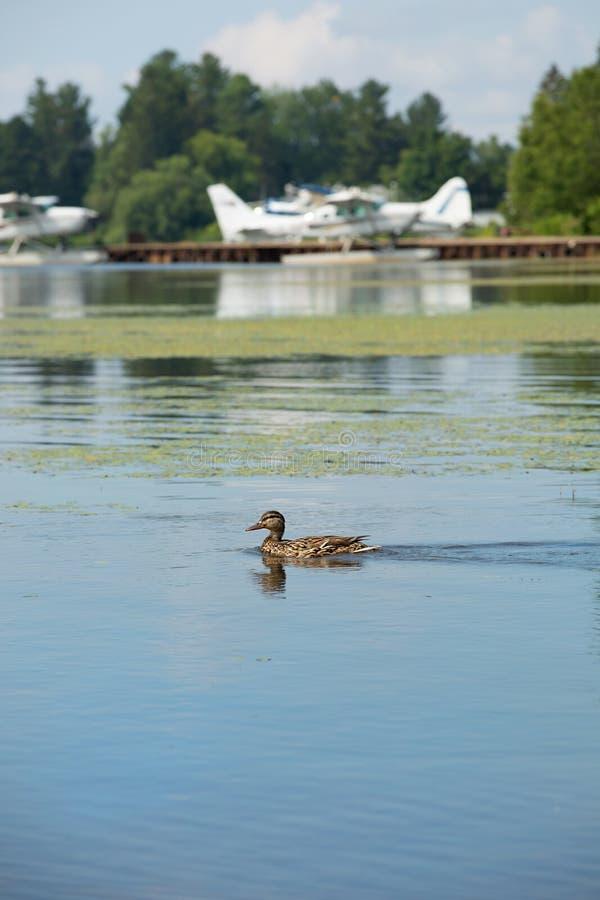 在湖的鸭子游泳 库存图片