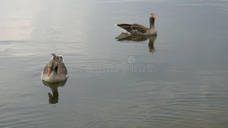 在湖的鹅 免版税库存照片
