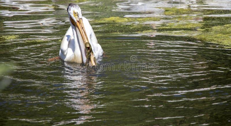 在湖的鹈鹕在阳光下 免版税库存图片