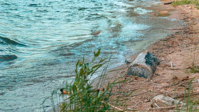 在湖看看的鸟波浪 免版税库存图片