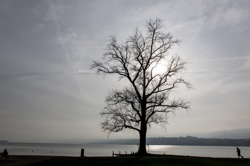 在湖苏黎世前面的结构树 库存照片