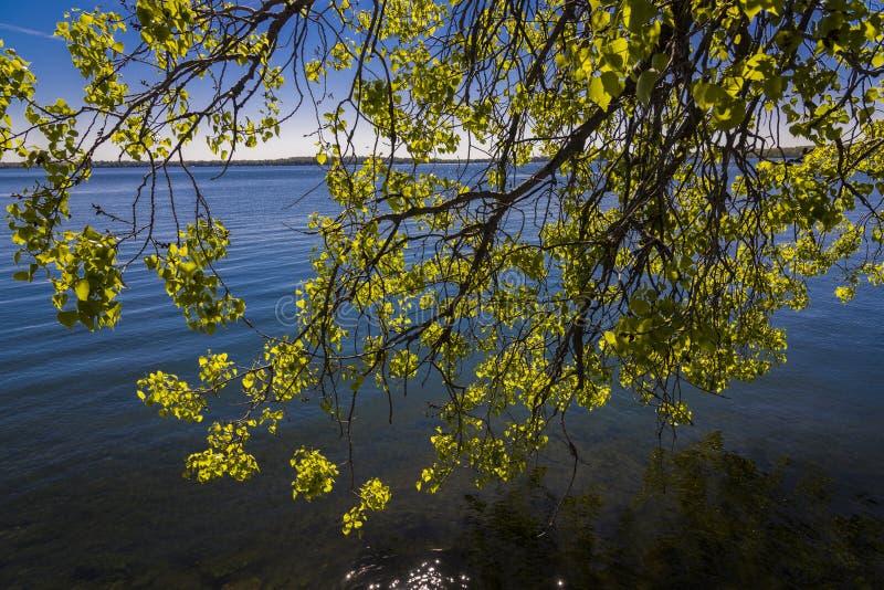 在湖莫诺纳,麦迪逊,威斯康辛岸的树枝  免版税图库摄影