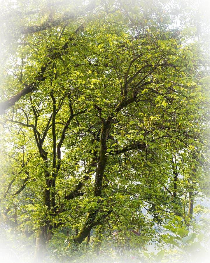 在湖边博克拉的一棵有雾的天艺术性的树 免版税图库摄影