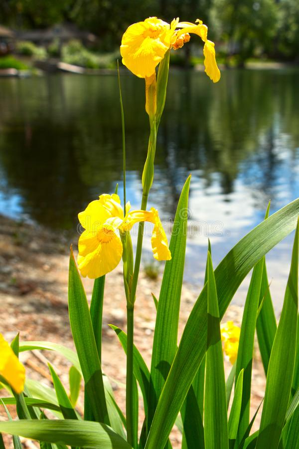 在湖边海滩的黄色虹膜 免版税图库摄影