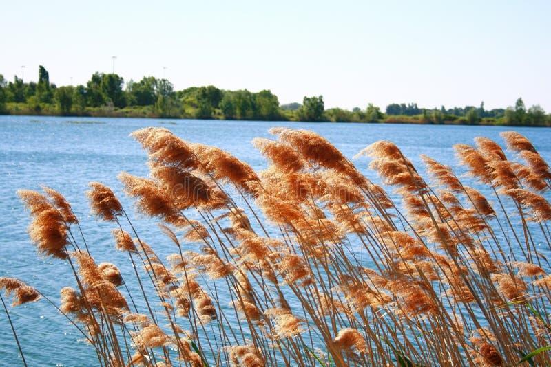 在湖边的芦苇 免版税图库摄影