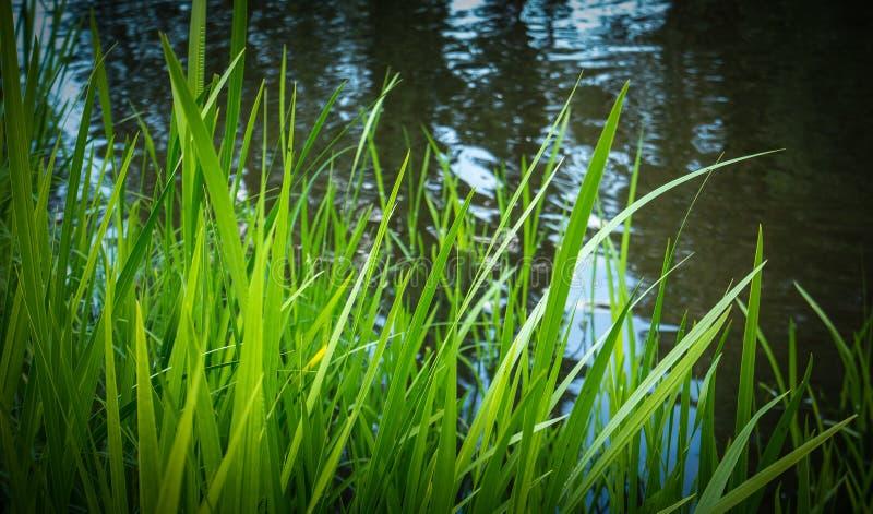 在湖边缘的绿草 库存图片