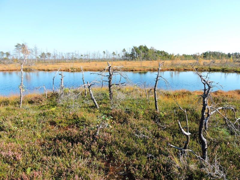 在湖附近的死的树沼泽的 库存图片