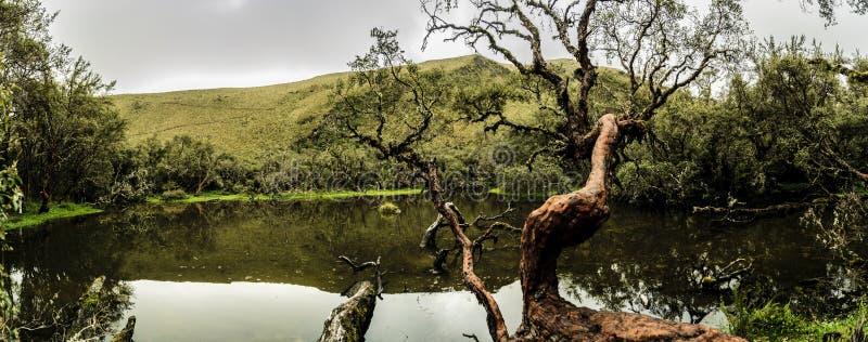 在湖附近的Polylepis树 免版税库存照片