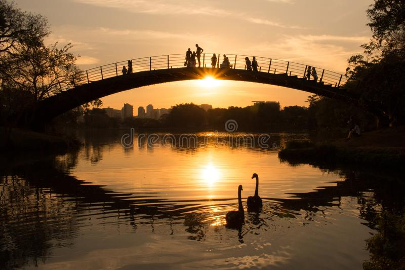 在湖,当人们观看日落时,伊比拉布埃拉公园,圣保罗,巴西的两只天鹅 免版税库存图片