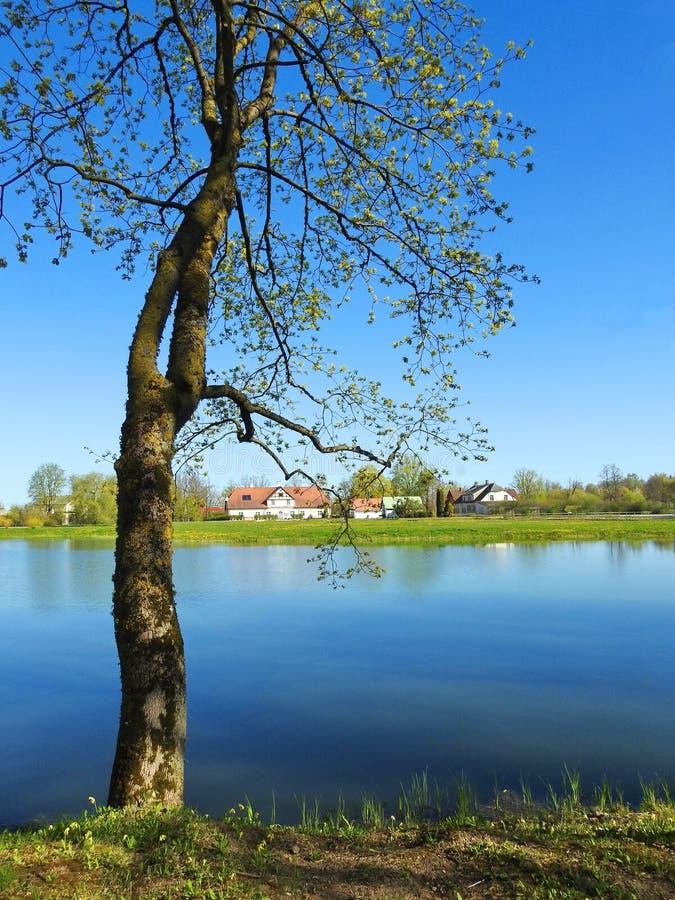 在湖,拉脱维亚附近的美丽的树 免版税库存图片