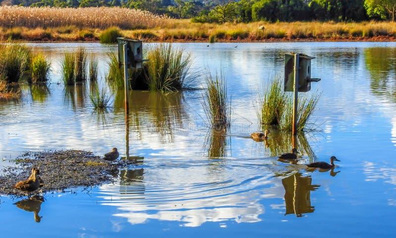 在湖1的和平的鸭子 免版税库存照片