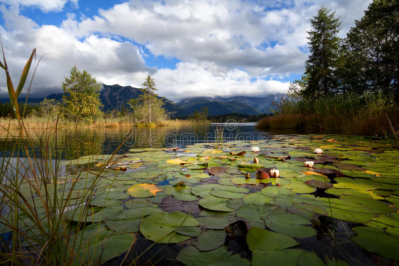 在湖Barmsee的荷花花 库存图片