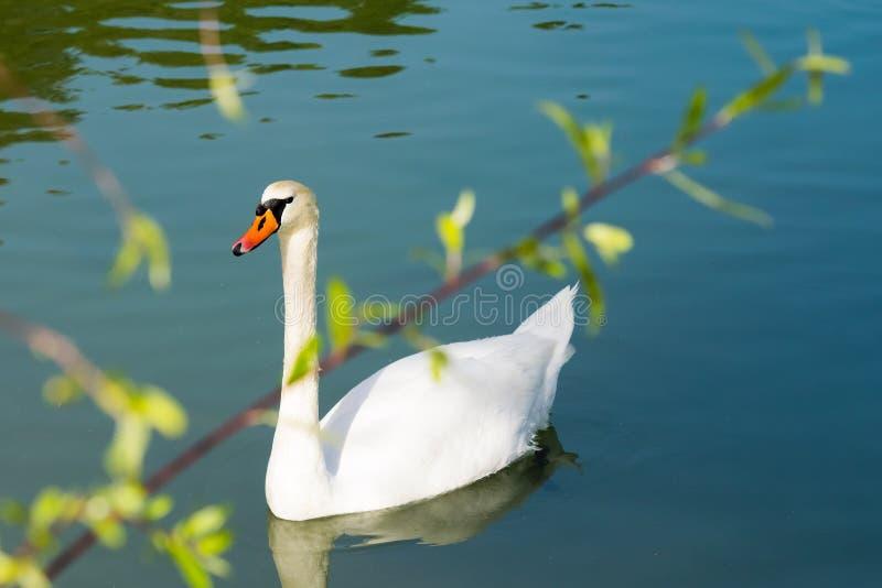 在湖Beletsi的白色天鹅游泳在有一个树枝的希腊作为前景 免版税库存图片
