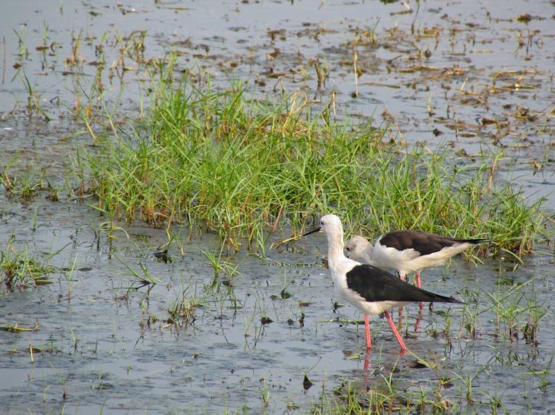 在湖Chilika,印度染黑飞过的高跷对 库存图片