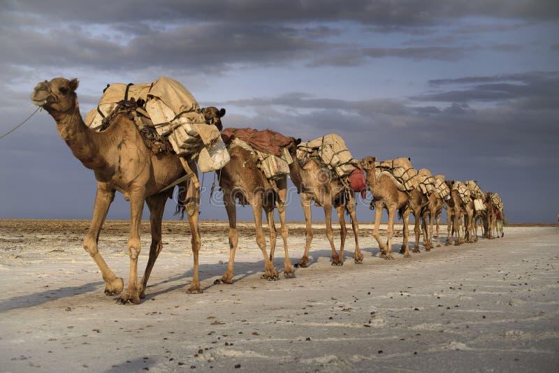 在湖Karoum的骆驼有蓬卡车 库存照片