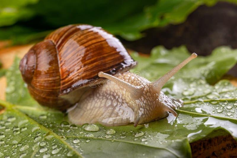 在湿枫叶的螺旋pomatia 在一条森林道路的蜗牛在森林里 图库摄影