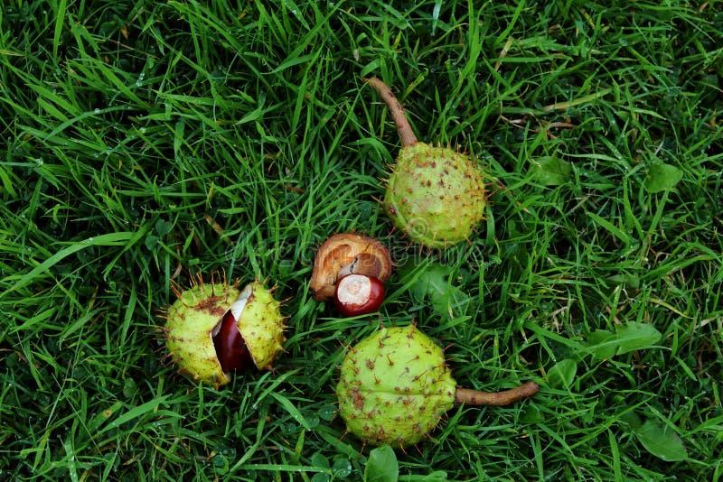 在湿草的七叶树果实 图库摄影