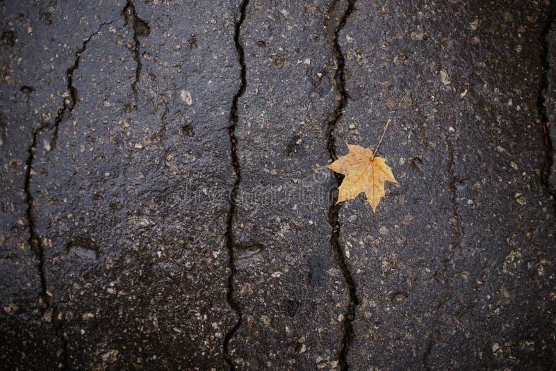 在湿黑暗的沥青的黄色秋天秋天枫叶 免版税图库摄影