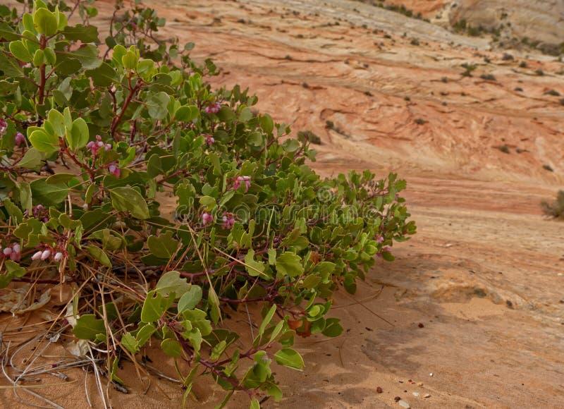 在滑动岩石,锡安国家公园,犹他的植被 免版税库存图片