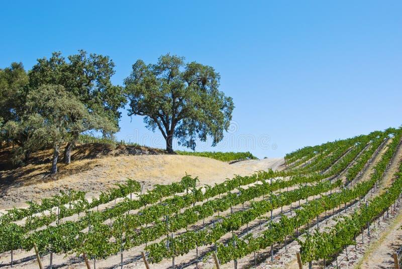 在滚山坡排行的葡萄园 库存照片