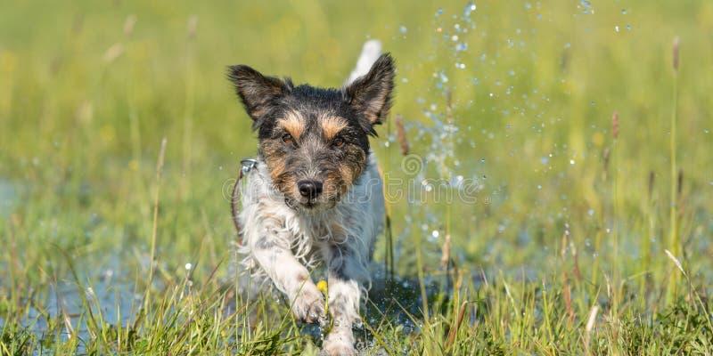 在滴下湿草甸-起重器一岁罗素的狗的狗赛跑 免版税库存图片