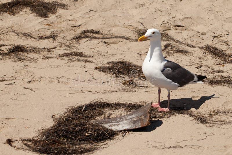 在漂流木头旁边部分的海鸥  免版税库存照片