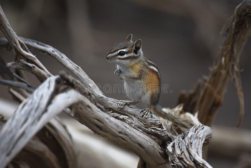 在漂流木头的花栗鼠 免版税图库摄影
