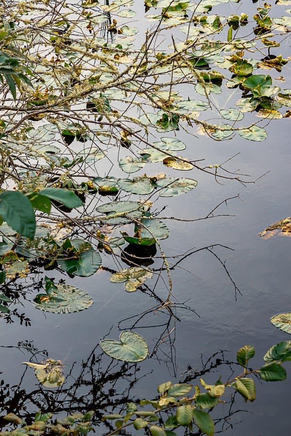 在漂浮在湖的睡莲叶的分支 免版税图库摄影