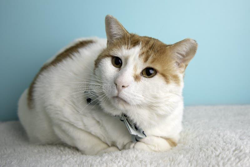 在演播室和佩带蝶形领结的橙色虎斑猫画象 库存照片