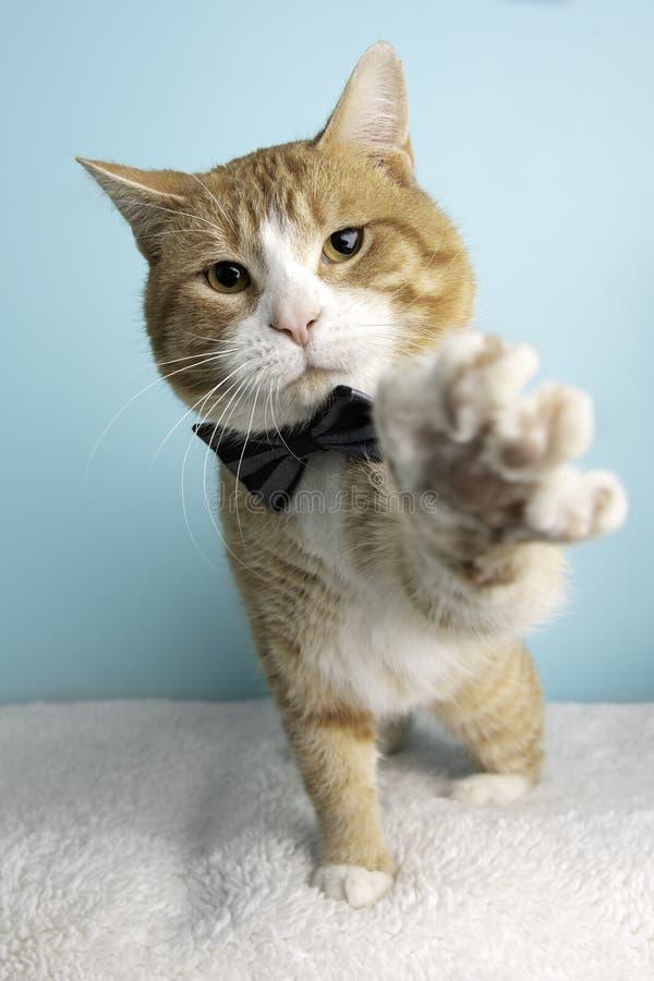 在演播室和佩带蝶形领结的橙色虎斑猫画象 免版税库存图片