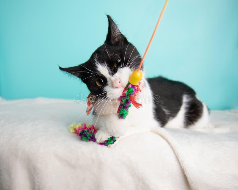 在演播室和佩带蝶形领结的黑白猫画象 免版税库存照片