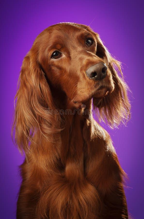 在演播室尾随在紫色背景的画象,垂直 免版税库存图片