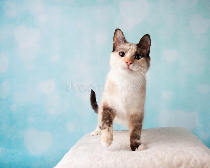 在演播室画象的暹罗混合猫 免版税库存照片