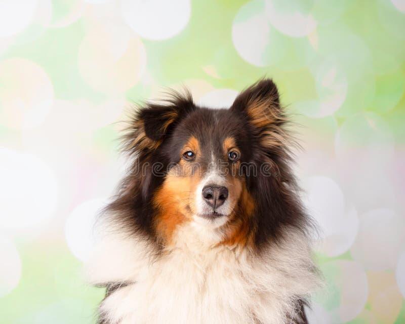 在演播室画象的设德蓝群岛牧羊犬 免版税库存照片