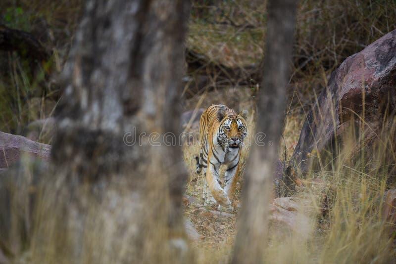在漫步的皇家孟加拉老虎表示在他的疆土的气味的 在怀孕的母老虎的射击的一个头kanha国立公园的 免版税库存图片
