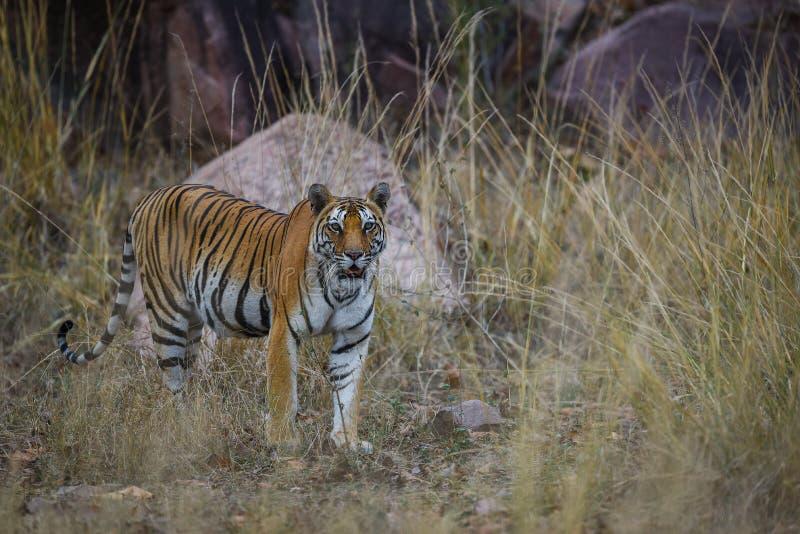 在漫步的皇家孟加拉老虎表示在他的疆土的气味的 在怀孕的母老虎的射击的一个头kanha国立公园的 免版税库存照片