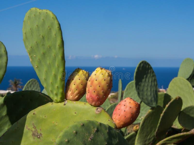 在潘泰莱里亚,意大利海岛上的仙人球植物  库存照片