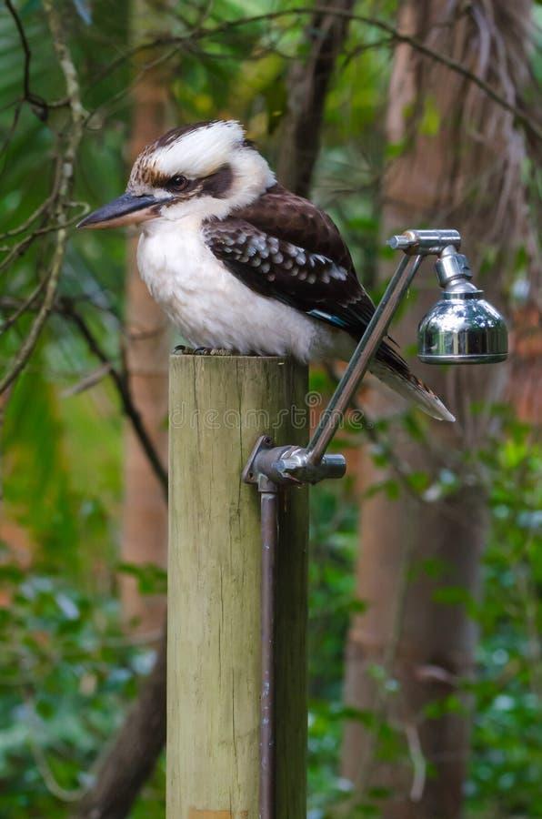 在澳大利亚人布什阵雨的Kookaburra 免版税库存照片
