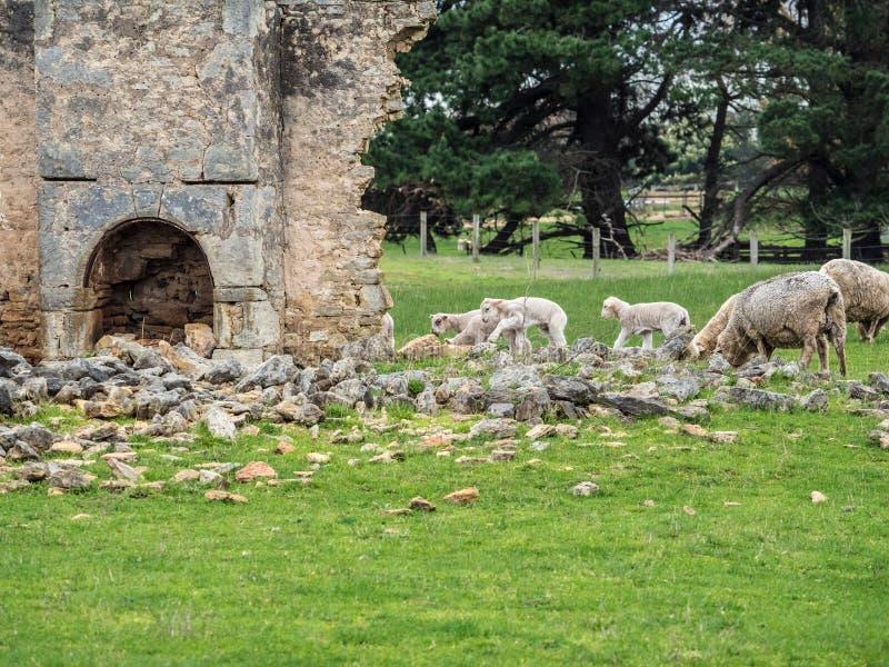 在澳大利亚农场的绵羊 库存照片